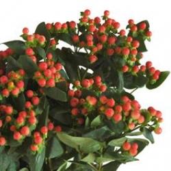 Hypericum_Berries